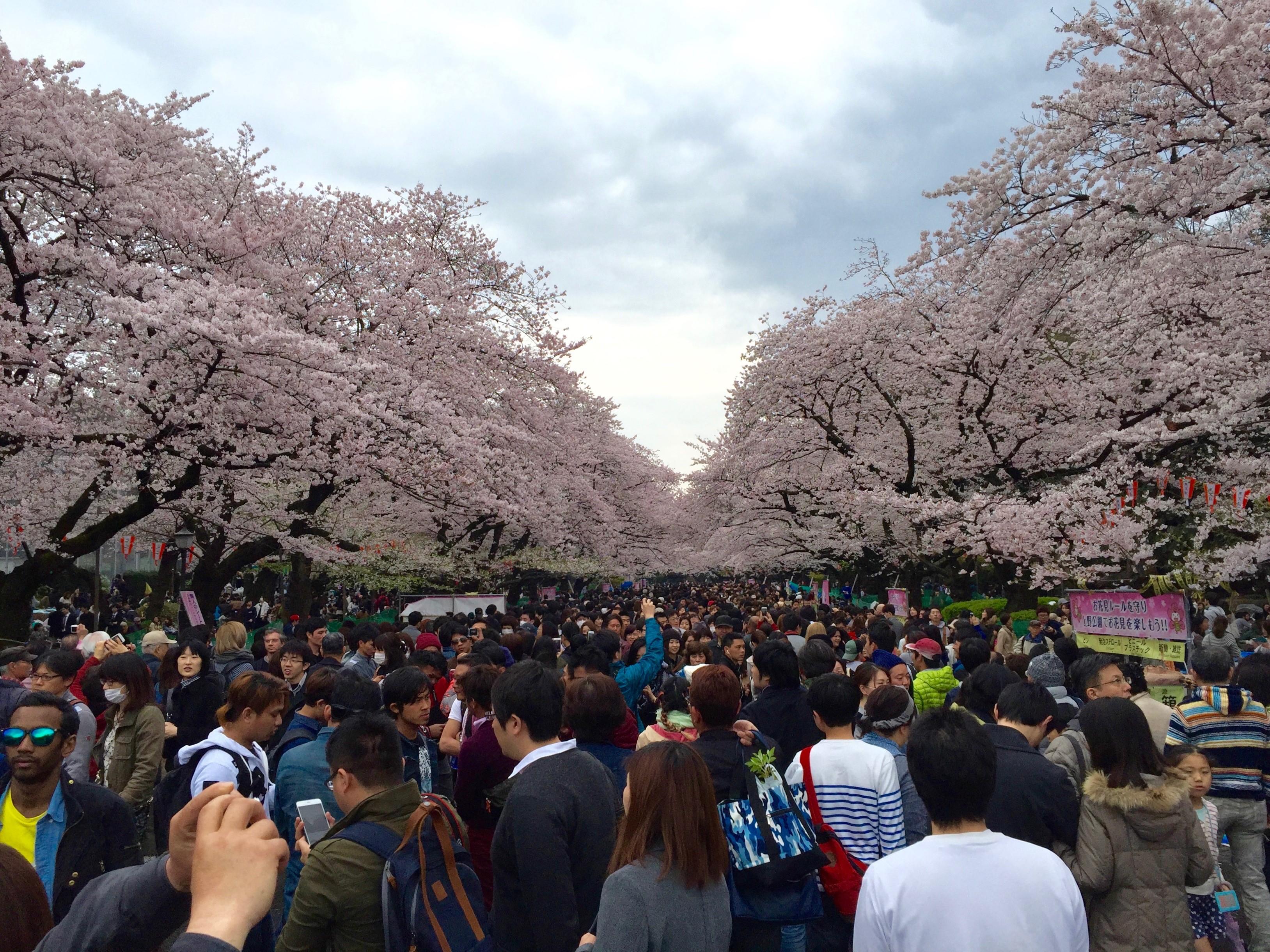 cherry blossom festival - HD3256×2442